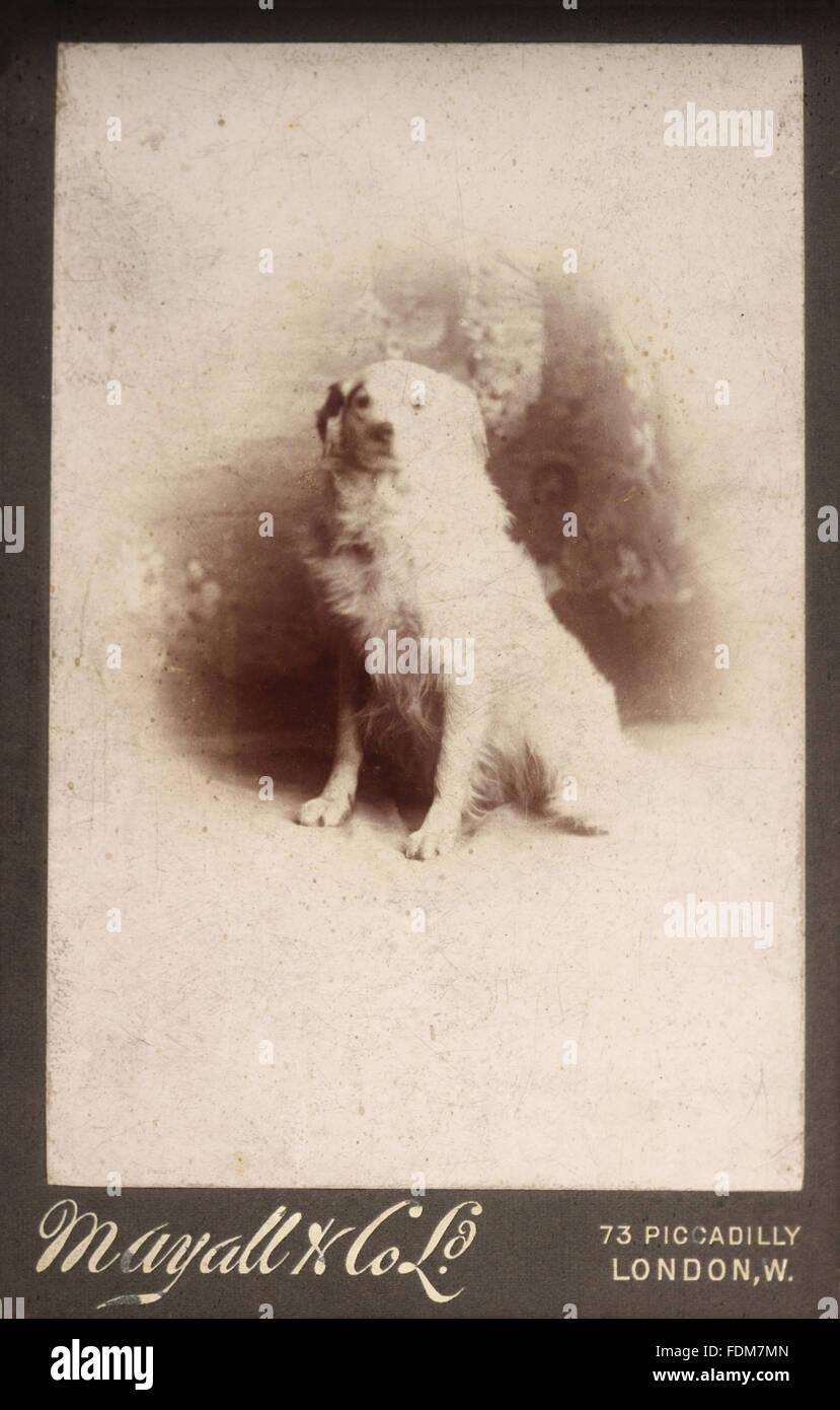 Ein Archiv schwarz-weiß-Foto von einer Frau Greville Hunde. Fotograf: Mayall & Co, 73 Piccadilly, London. Stockbild