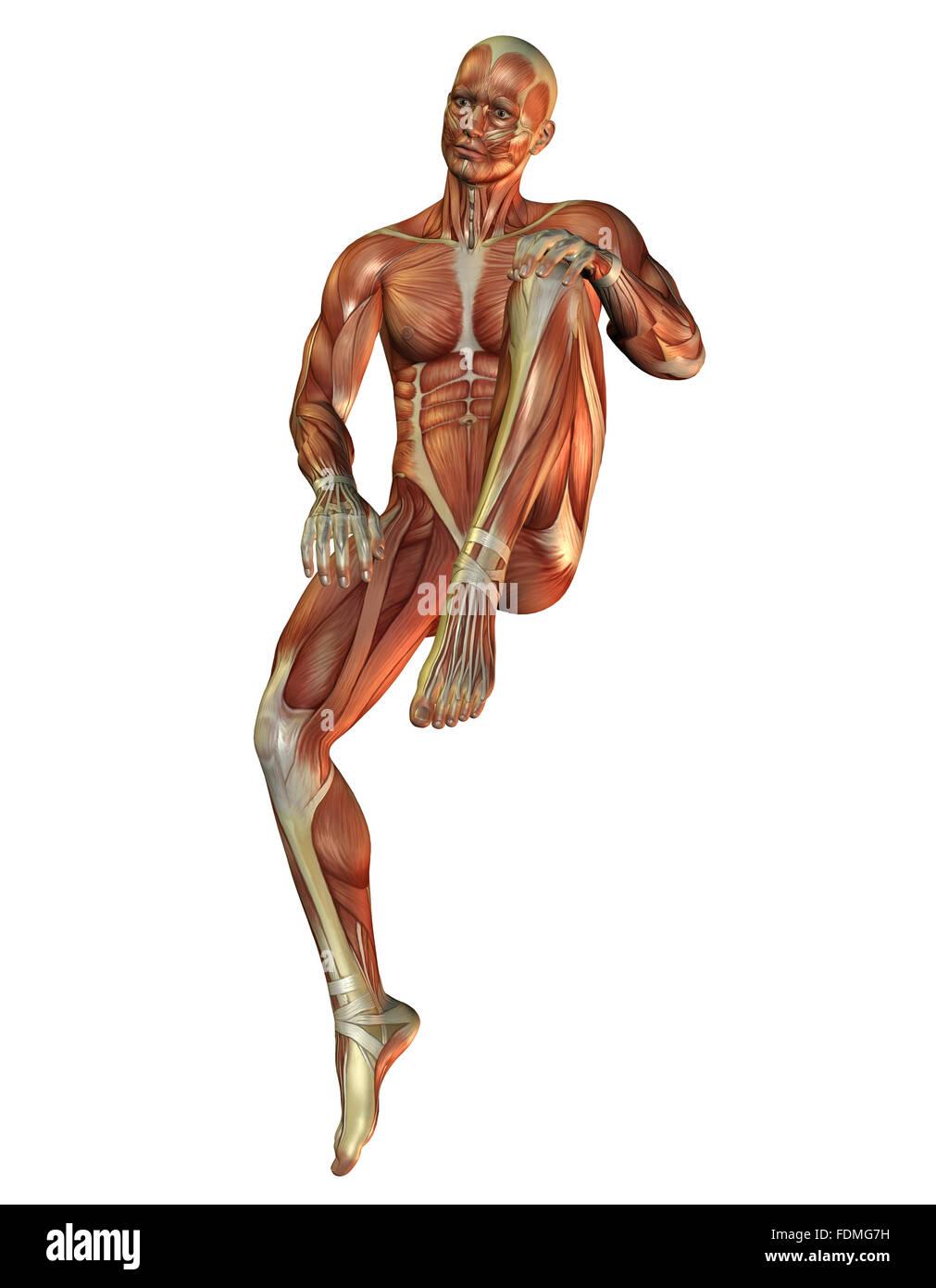 Anatomie, Muskeln, medizinische Illustrationen Stockbild