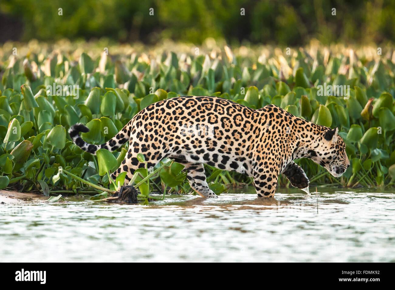 Jaguar auf dem Fluss Cuiaba Stockbild