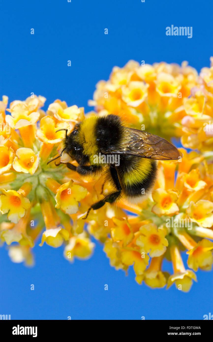 Garten-Hummel (Bombus Hortorum) Männchen ernähren sich von Sommerflieder (Buddleja X Weyeriana) Blumen Stockbild