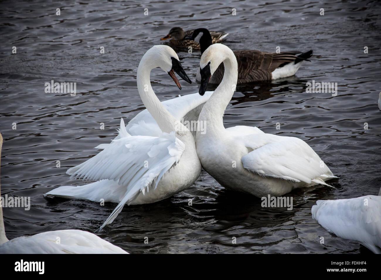Trumpeter Schwäne stehen sich in einer lebendigen Konfrontation in Swan Park, Monticello, MN, USA Stockbild