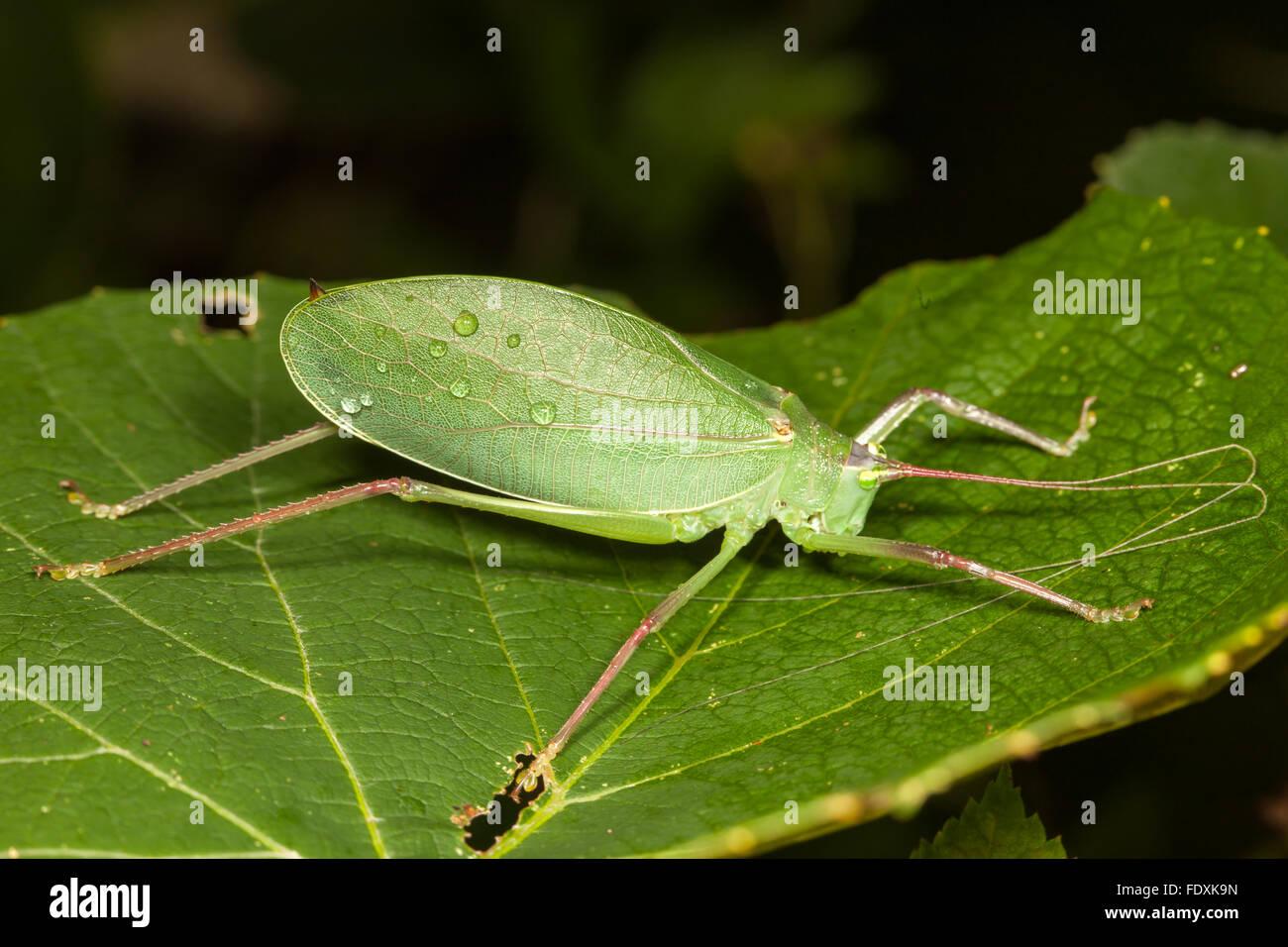 Eine weibliche gemeinsame wahre Grashuepfer (Pterophylla Camellifolia) sitzt auf einem wilden Trauben Pflanzenblattes. Stockbild