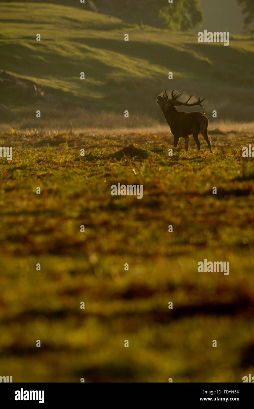 Rothirsch (Cervus Elaphus) Hirsch im Morgenlicht Stockfoto