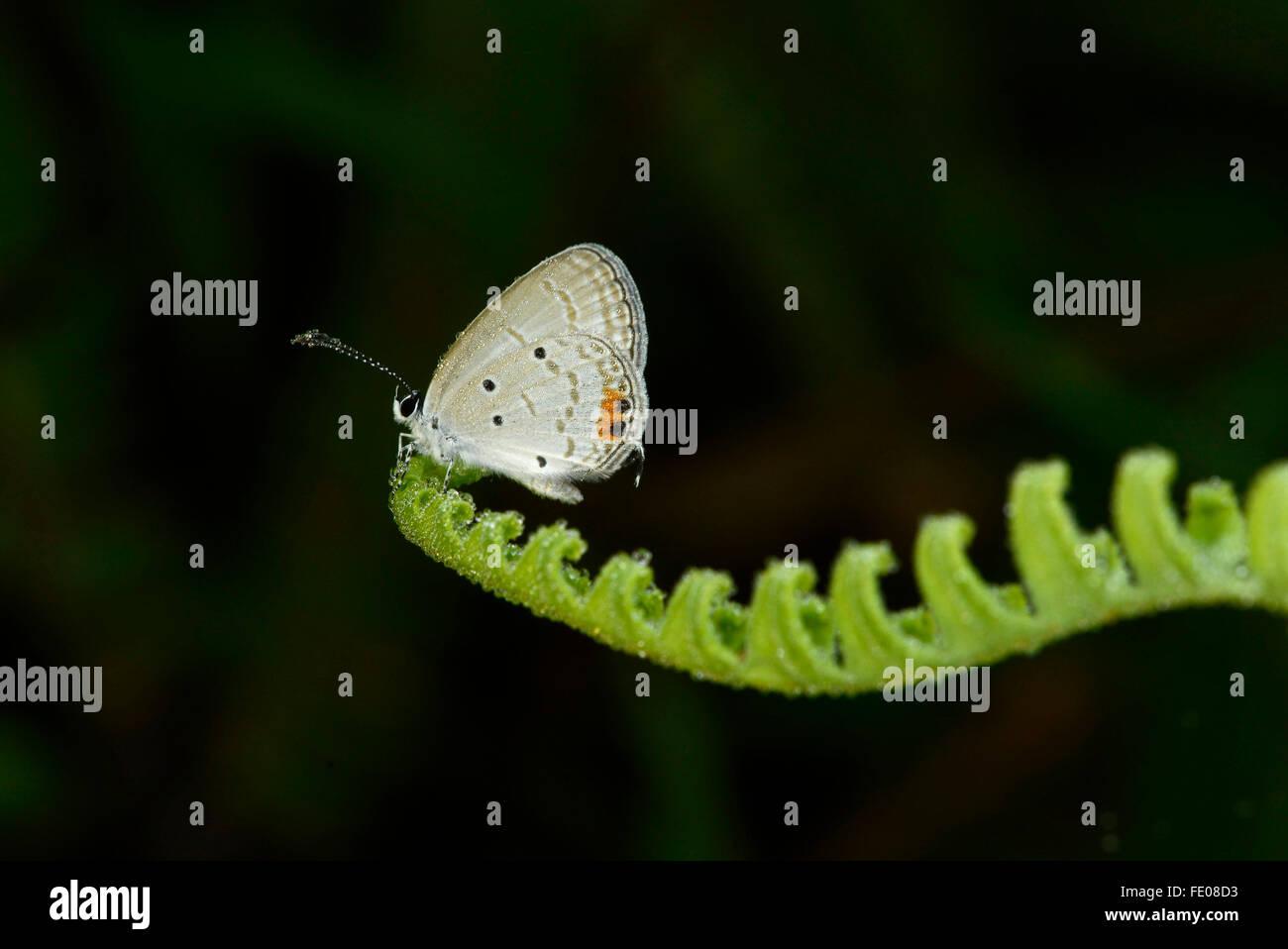 Sri Lankan Long-tailed Blue Butterfly (Lampides Boeticus) Erwachsenen in Tau, ruht auf Farn Blatt, Sinharaja Forest Stockbild