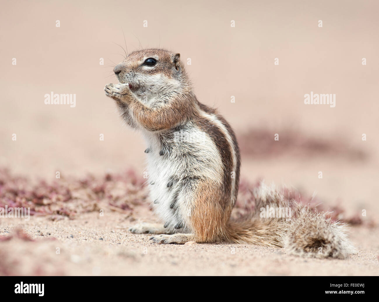 Barbary Boden Eichhörnchen, Fuerteventura, Kanarische Inseln Stockbild
