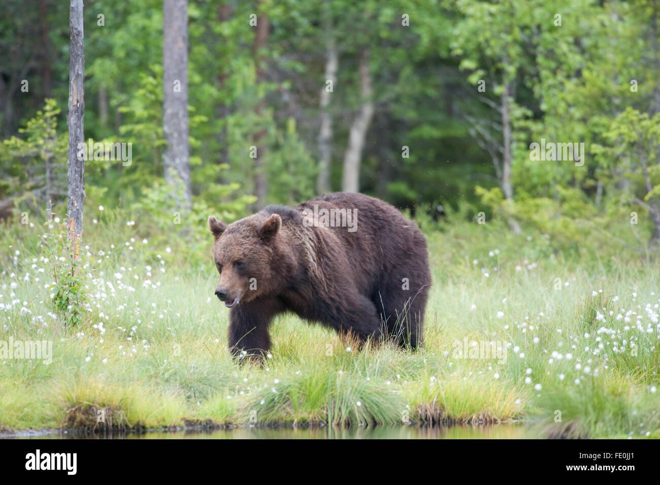 Europäischer Braunbär Ursus Arctos Arctos, Finnland Stockfoto