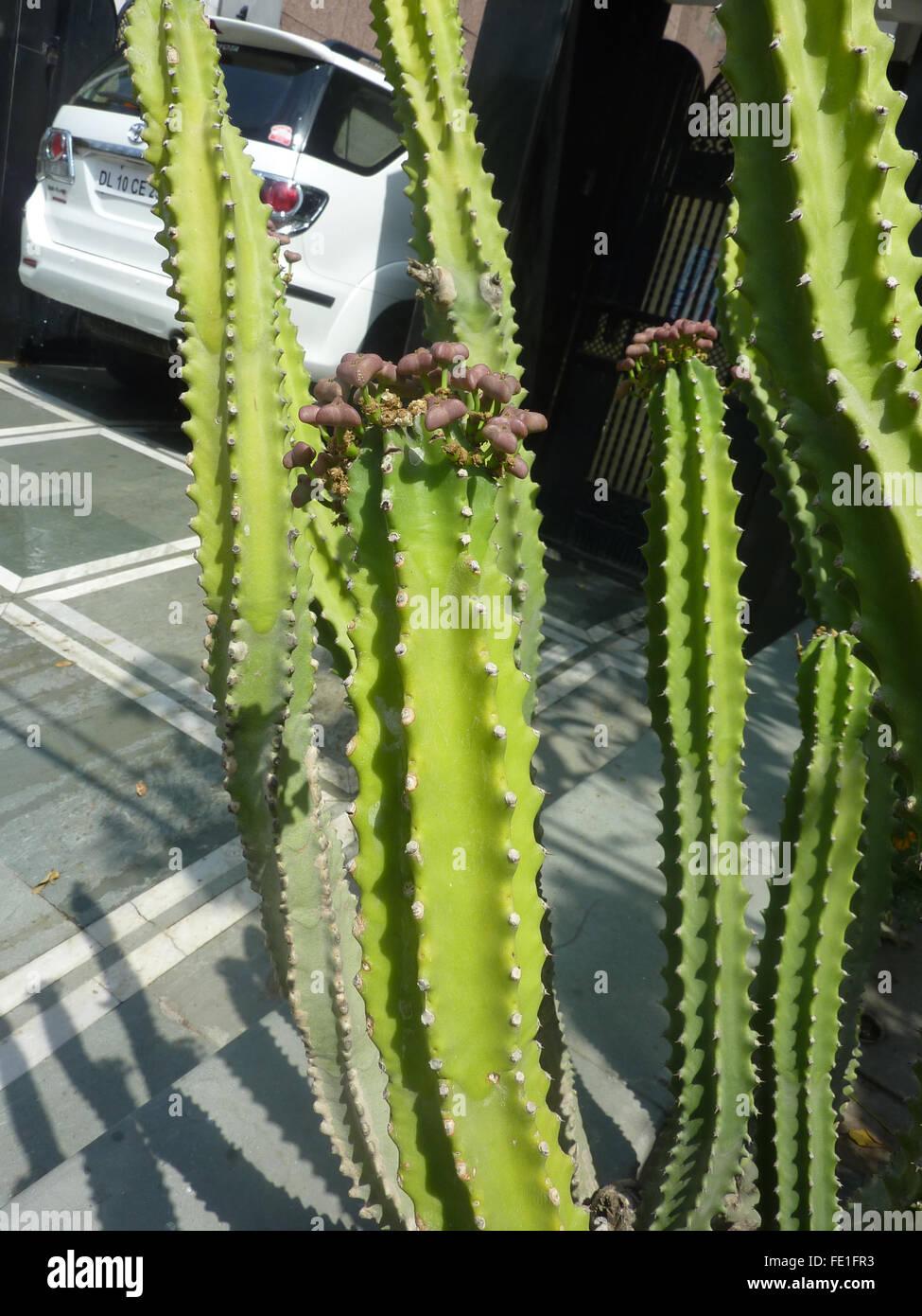 Euphorbia Royleana mit 5-7 abgewinkelten Cactus wie Stämme mit Stacheln entlang Winkeln, verlässt großer Stockbild