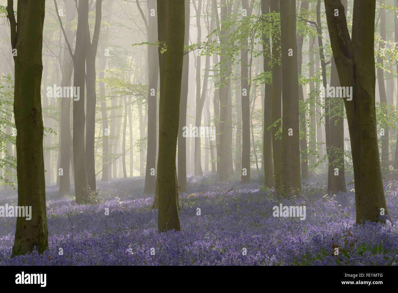 Wald voller Glockenblumen an einem nebligen Frühlingsmorgen in der Nähe von Micheldever in Hampshire. Stockbild