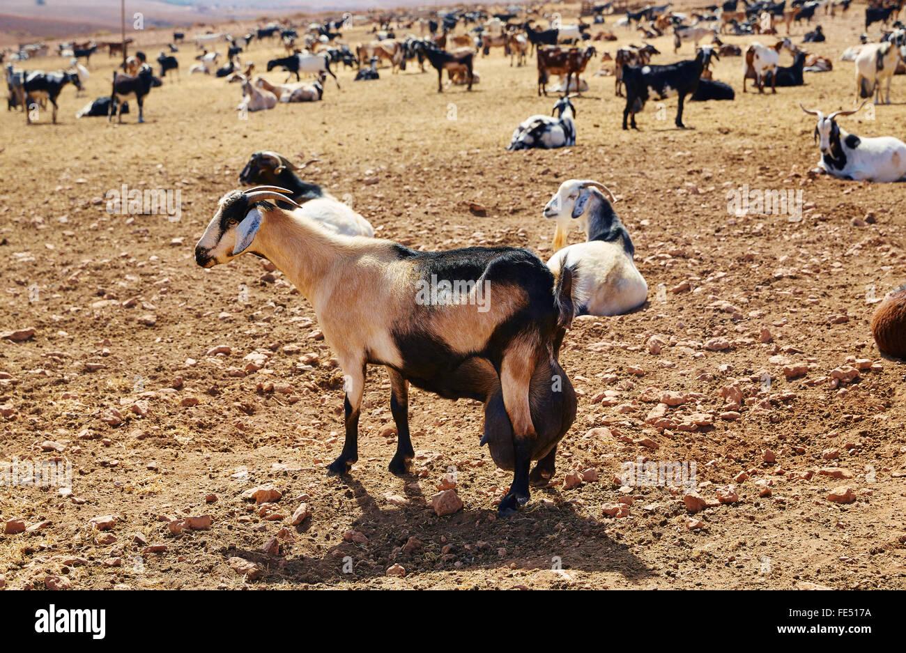 Majorera Ziege für Käse Fuerteventura auf den Kanarischen Inseln von Spanien Stockbild