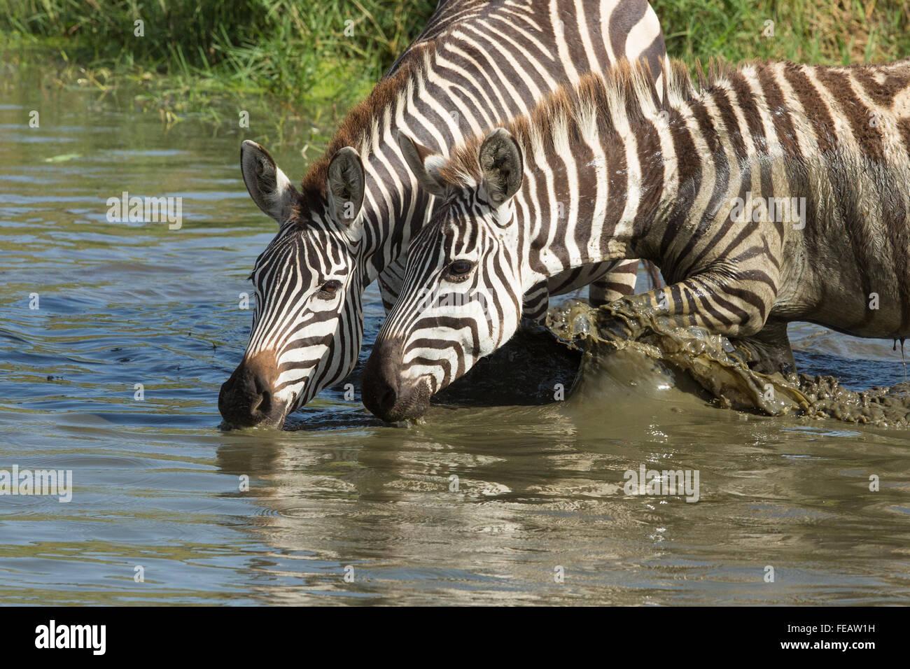 Zwei Erwachsene Plains Zebra trinken in der Serengeti-Nationalpark Tansania Stockbild