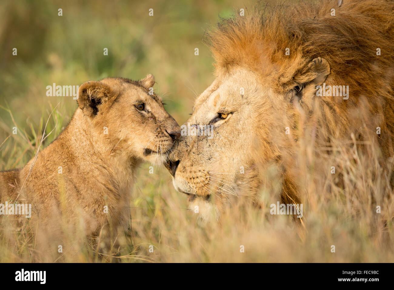 Erwachsenen männlichen afrikanischen Löwen und jungen Cub in der Serengeti-Nationalpark Tansania Stockbild