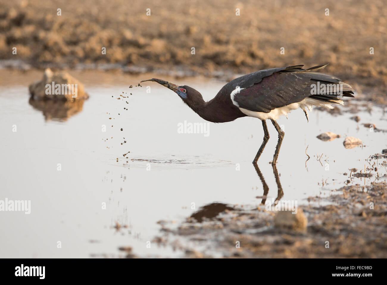 Ein Erwachsener Storch Abdims Trinkwasser im Serengeti Nationalpark in Tansania Stockbild