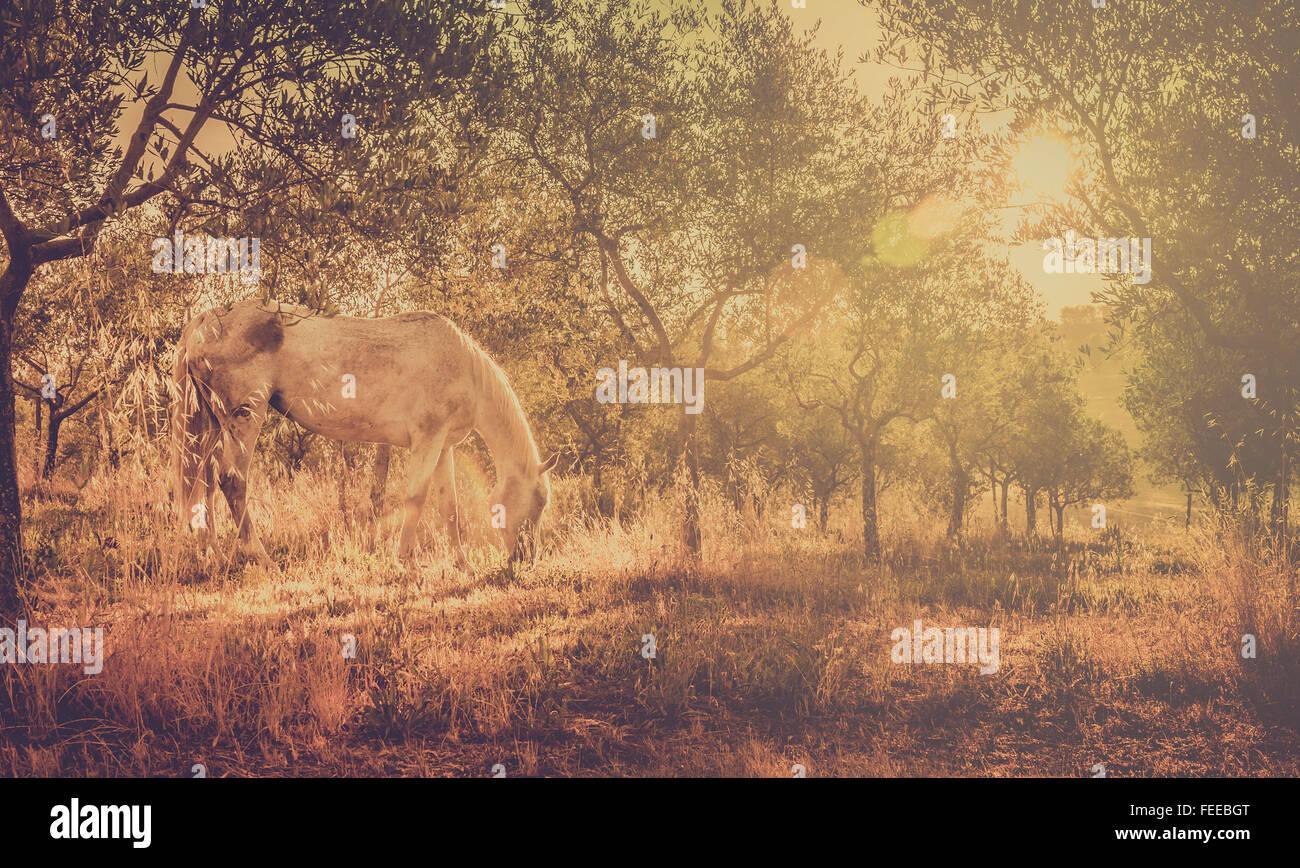 Retro-Ton weiße Wildpferd in toskanischen Olivenhain Stockbild