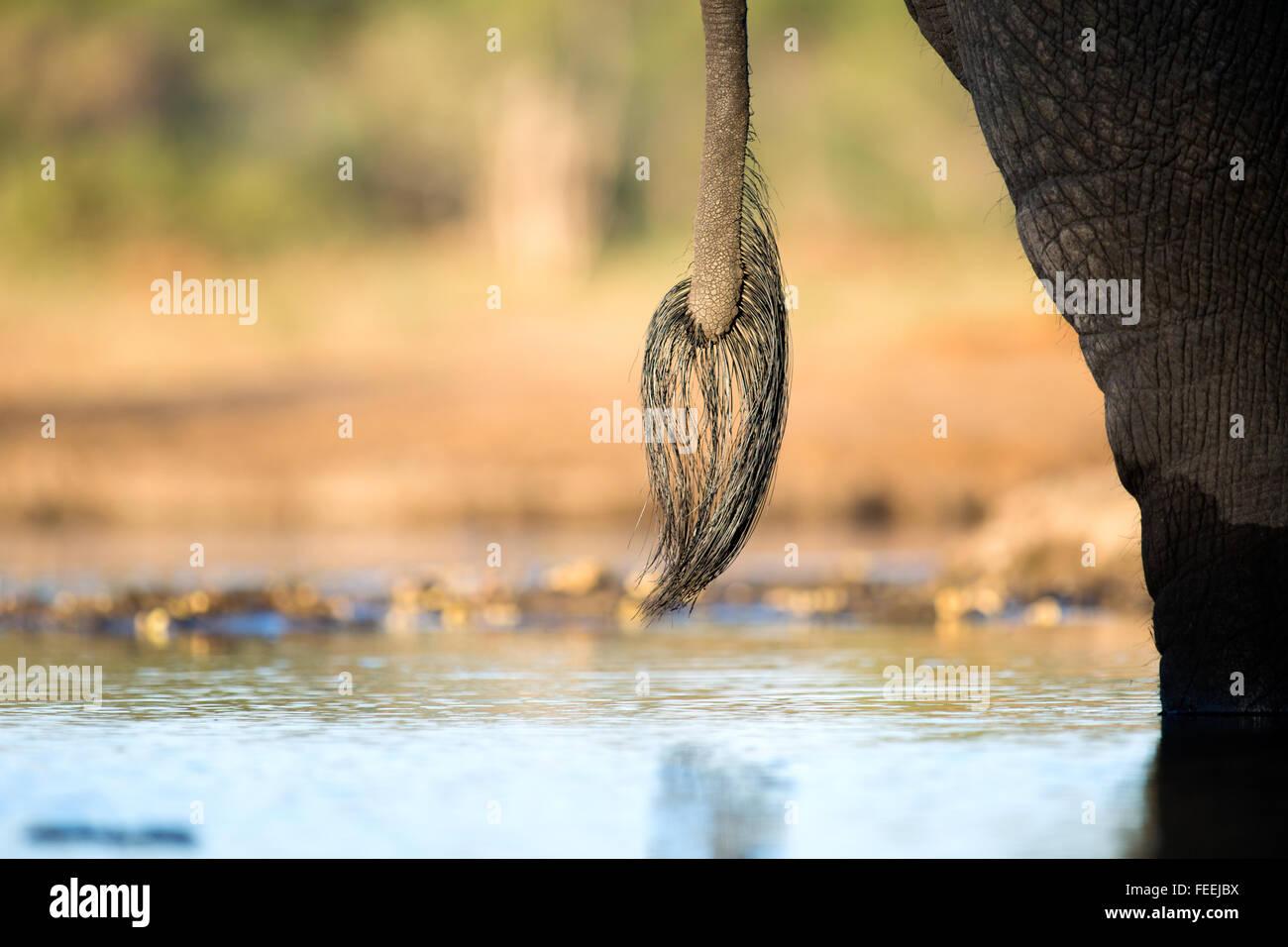 Heck des afrikanischen Elefanten Stockbild