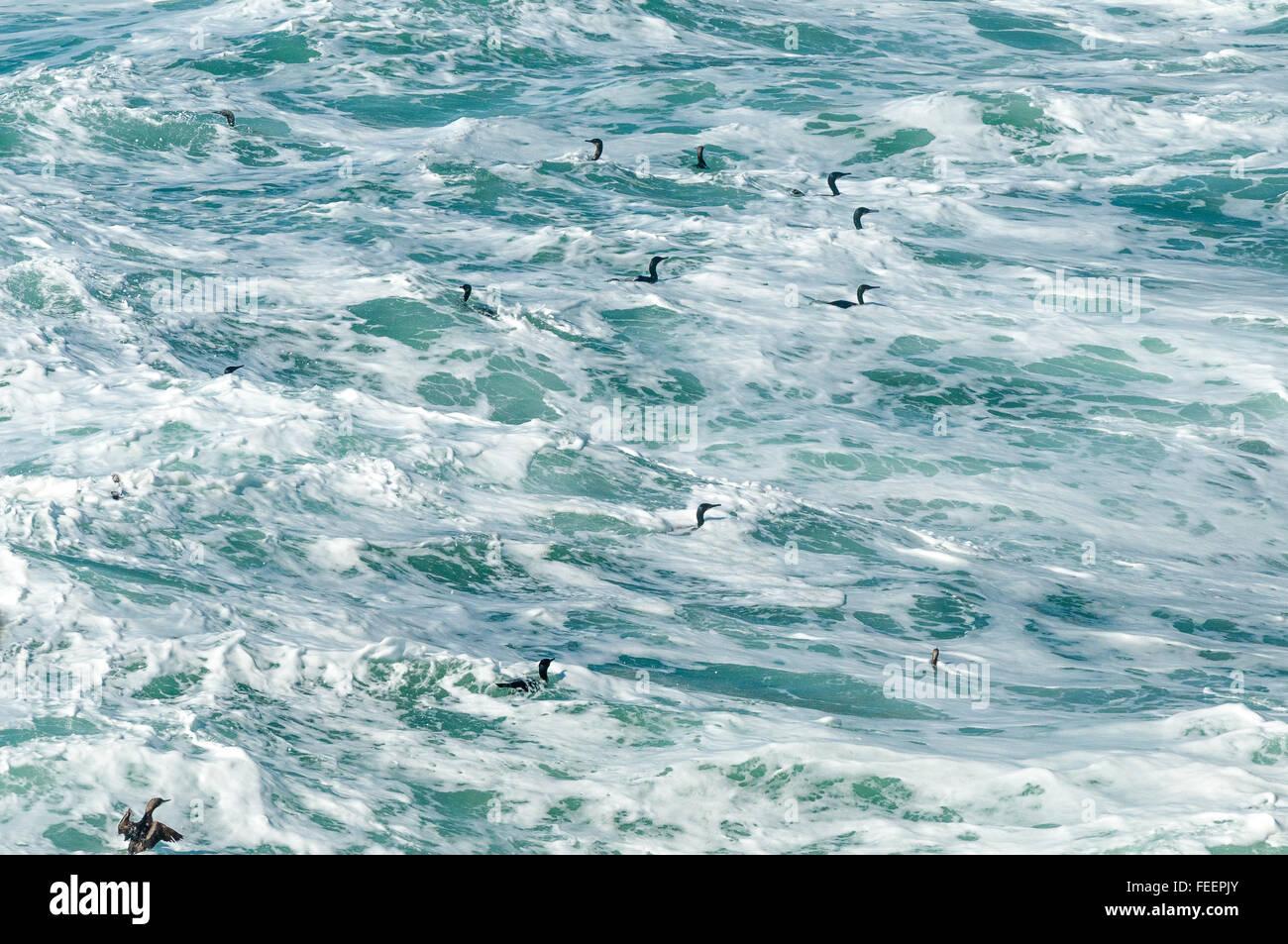 Kormorane, Seetaucher und Trauerenten fahren die heftig tobenden Brandung. Stockbild