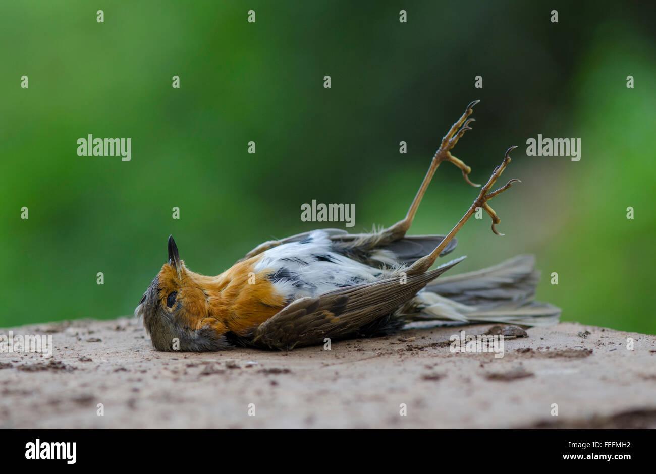 Totes Rotkehlchen Erithacus Rubecula Liegend Verstorben Im Wald