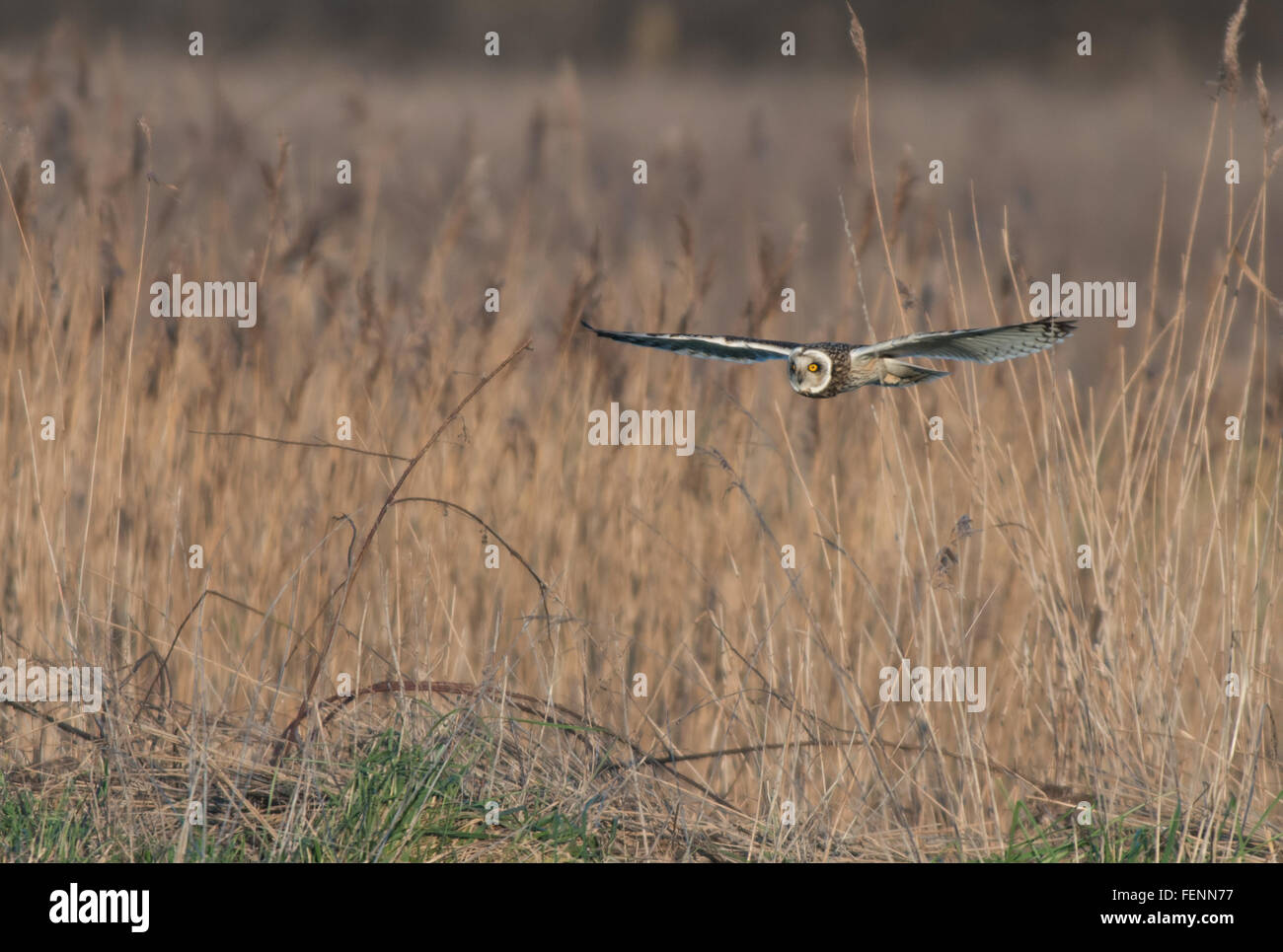 Short-eared Eule Asio Flammeus jagt. Winter. UK Stockfoto