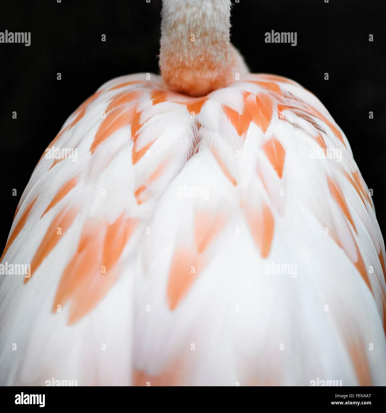 Heckansicht des Flamingo der Rücken- und Nackenmuskulatur auf schwarzem Hintergrund abgeschnitten Stockbild