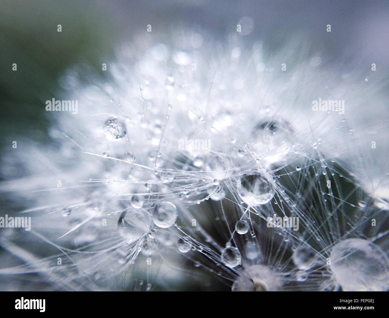 Nahaufnahme von Regentropfen auf Löwenzahn Stockfoto