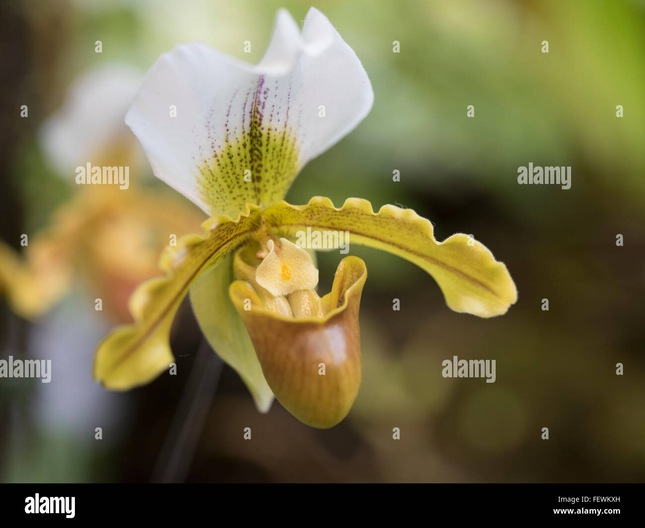 Paphiopedilum Leeanum Orchideen am internationalen Orchideen Festival, Expo Park, Okinawa Stockbild