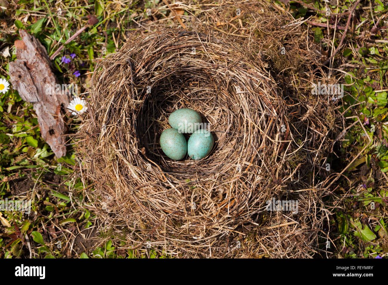Turkisfarbenes Vogelei Stockfotos Turkisfarbenes Vogelei Bilder