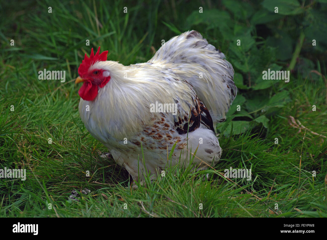 Leichte Sussex, Huhn Stockbild