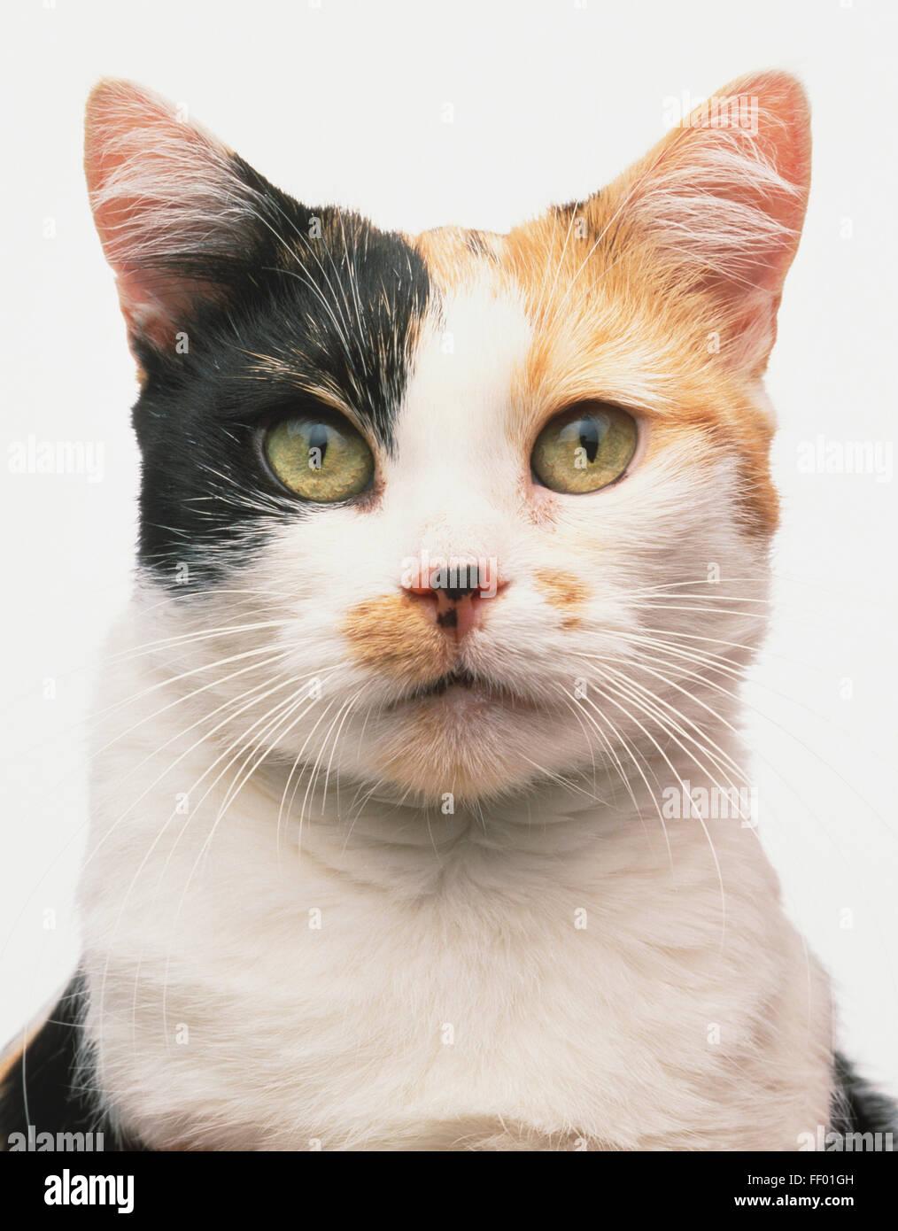 Gesicht eines Schildpatt und weiße Manx Katze (Felis Catus Stockfoto ...