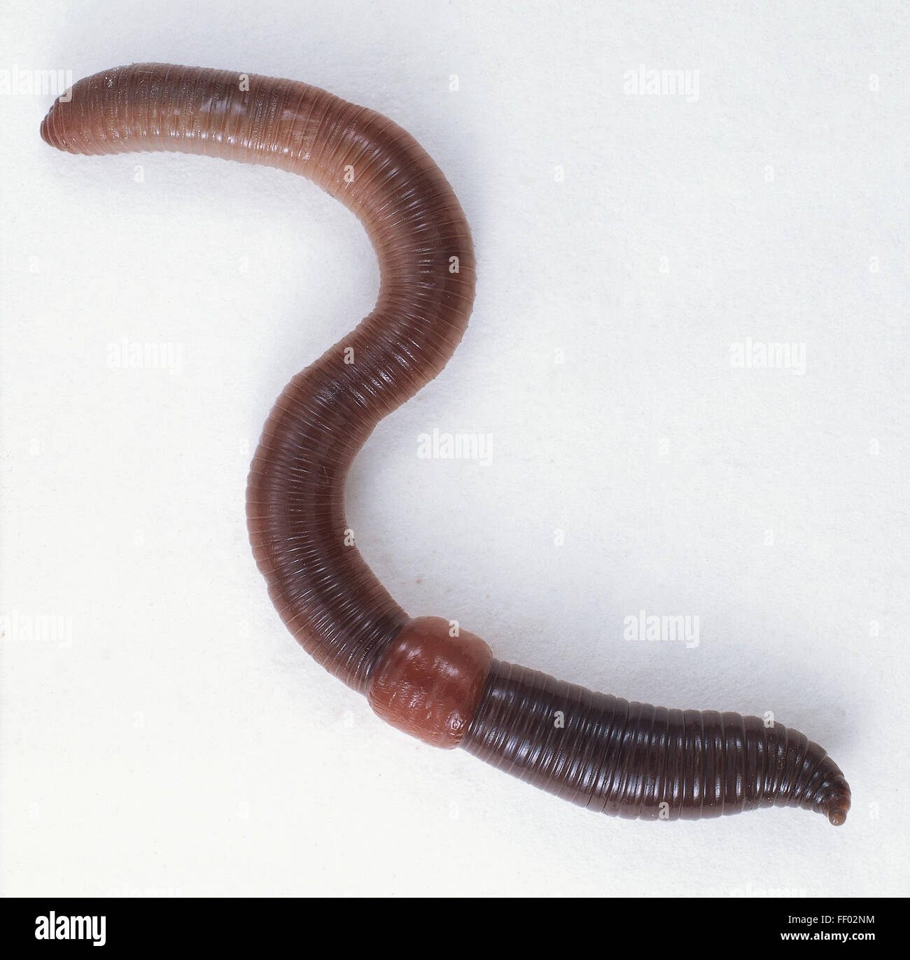 Earthworm Anatomy Stockfotos & Earthworm Anatomy Bilder - Alamy