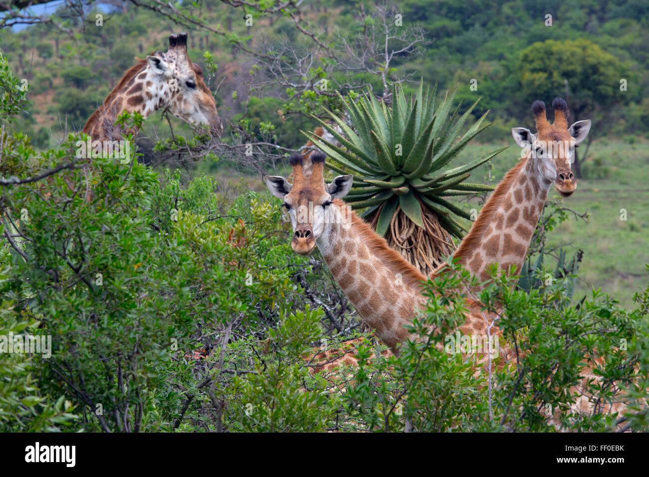 Cape Giraffe Giraffa Giraffe füttern Stockbild