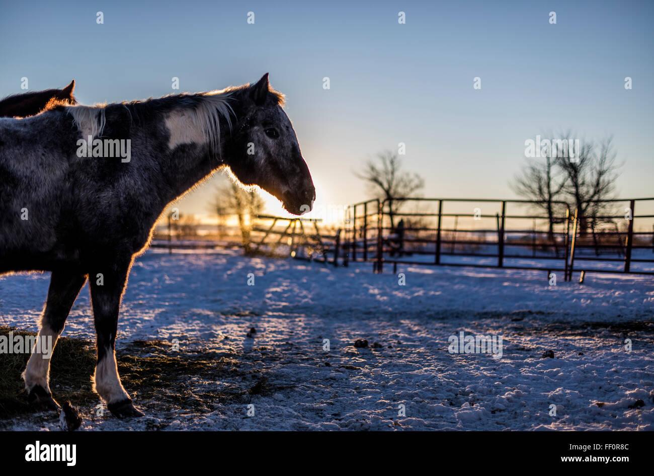 Mustangs aus freier Wildbahn durch ein staatliches Programm in ihrer neuen Heimat im östlichen Idaho übernommen. Stockbild