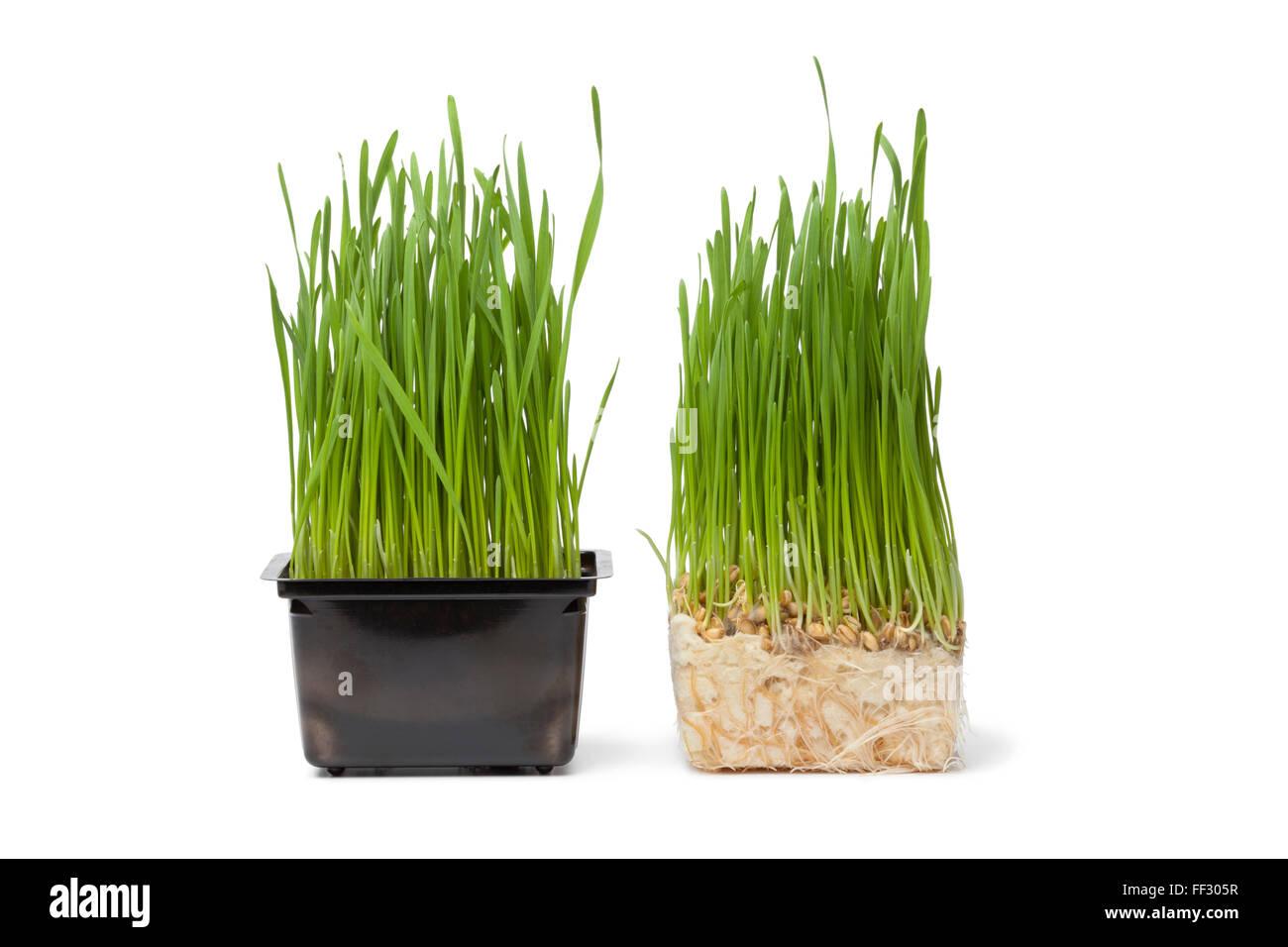 Bio Weizengras in Plastikbehälter auf weißem Hintergrund Stockbild