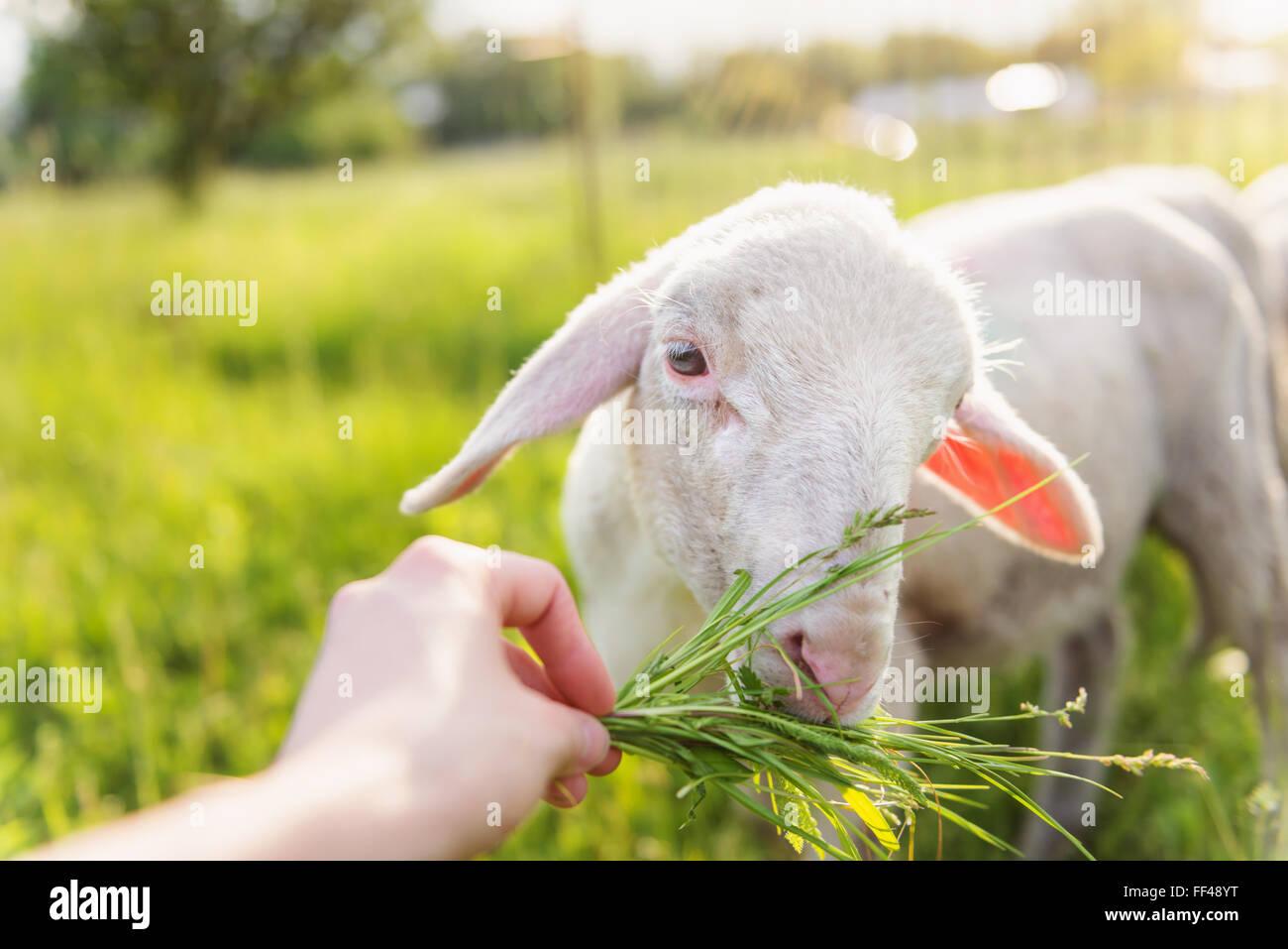 Detail der mans Hand Schafe Gras füttern. Sonnige Wiese. Stockbild