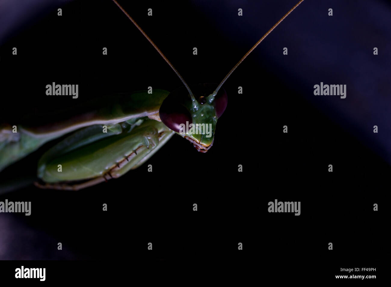 Der Alien Mantis Stockbild