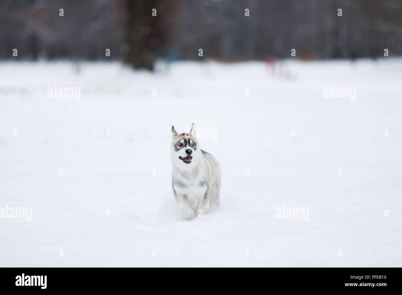 Berühmt Süße Husky Welpen Malvorlagen Fotos - Entry Level Resume ...