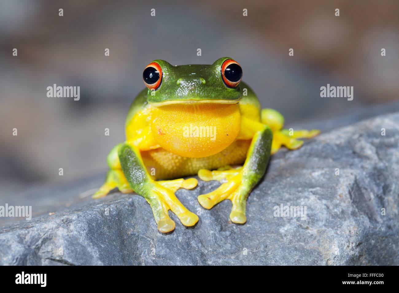 Australische rotäugigen Laubfrosch (Litoria Chloris), auch bekannt als Orange-eyed Laubfrosch, NSW, Australien Stockbild