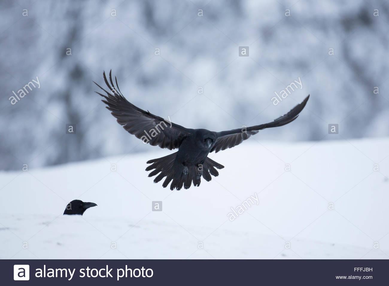 Raven (Corvus Corax) in Kuusamo, Finnland. Stockbild