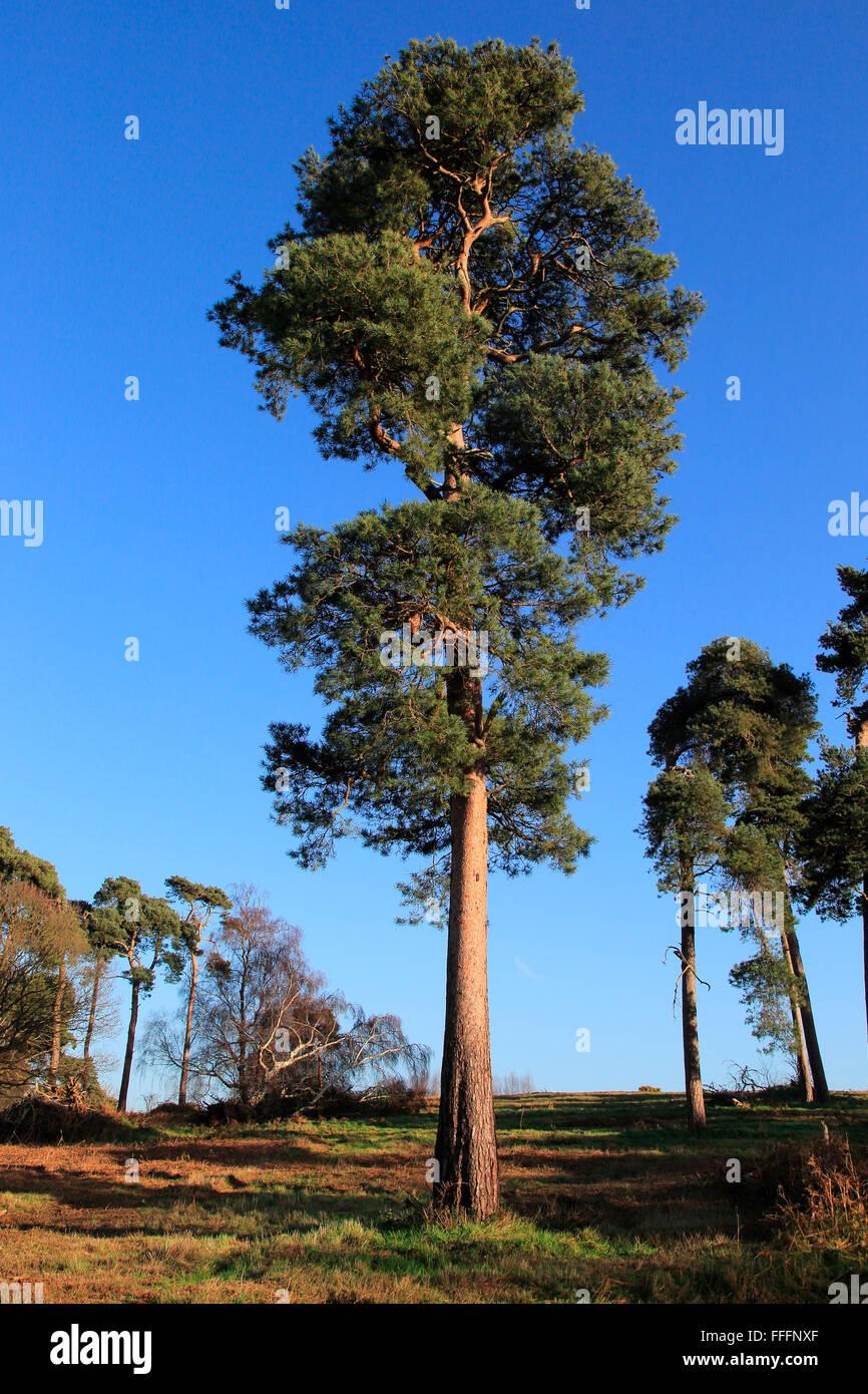 Föhre Bäume Pinus Sylvestris gegen blauen Himmel auf auf Heideland, Sutton Heath, Suffolk, England, UK Stockbild