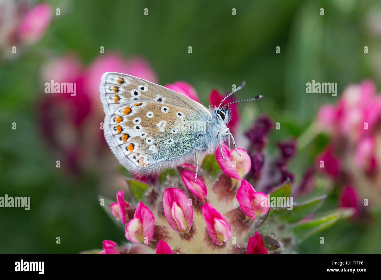 Gemeinsame blaue Schmetterling; Polyommatus Icarus einzigen weiblichen auf Anglesey Blume; UK Stockbild
