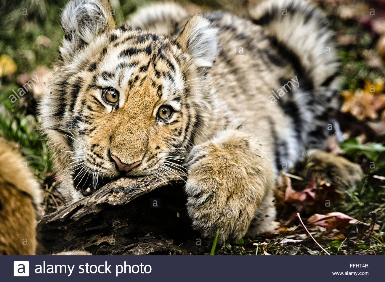 Fünf Monate alte Amur oder sibirische Tiger Cub, Panthera Tigris Altaica, Mund öffnen, beißen, Bronx Stockbild