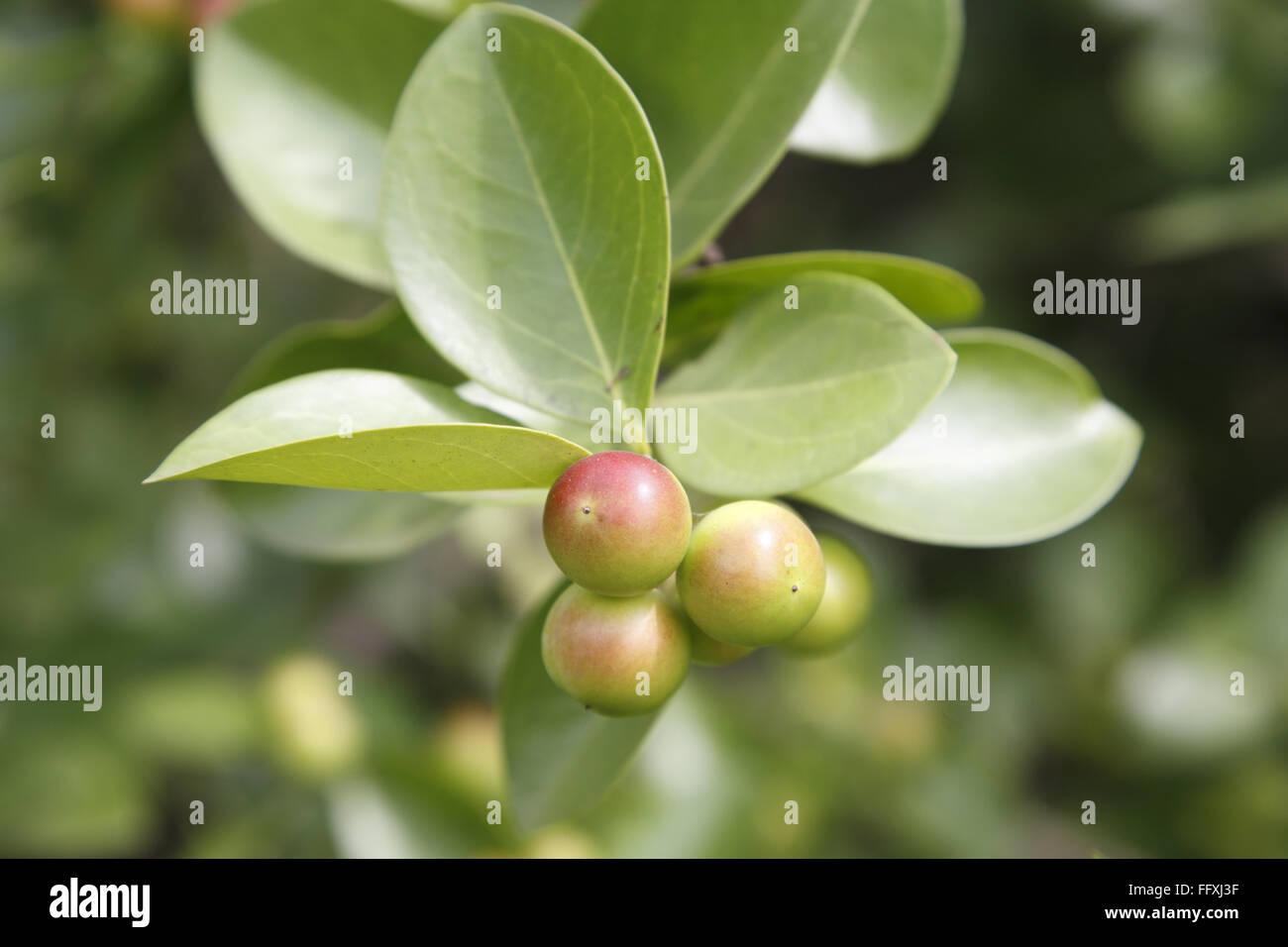 Obst, Karonda Karwanda Carissa Carandas natürlich gewachsenen Pflanze Stockbild