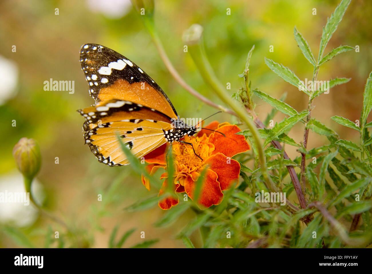 Insekt, Plain Tiger Danaus Wachen Schmetterling saugen Nektar von Blume Stockbild