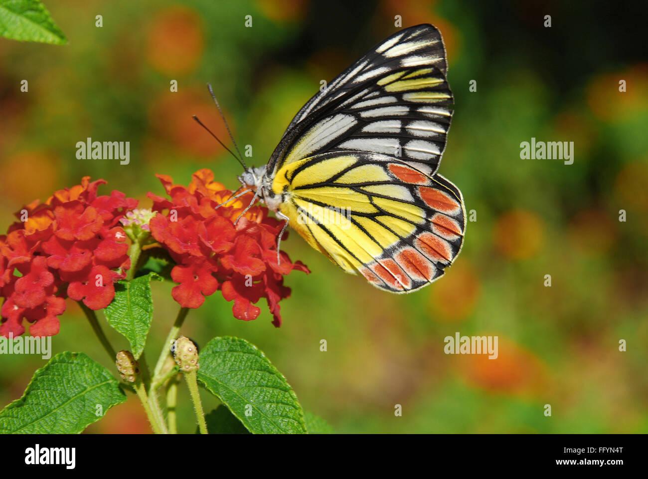 Gemeinsamen Isebel Schmetterlingspark Bannerghatta Bangalore Karnataka Indien Asien Stockbild