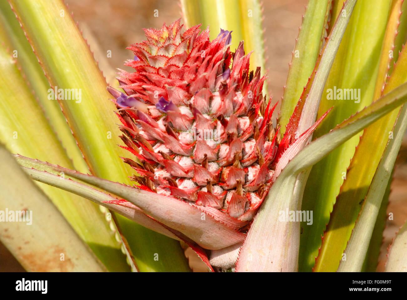 ananas pflanze mit roter farbe frucht bargeldgetreide dorf jambhulwadi stift raigad bezirk. Black Bedroom Furniture Sets. Home Design Ideas