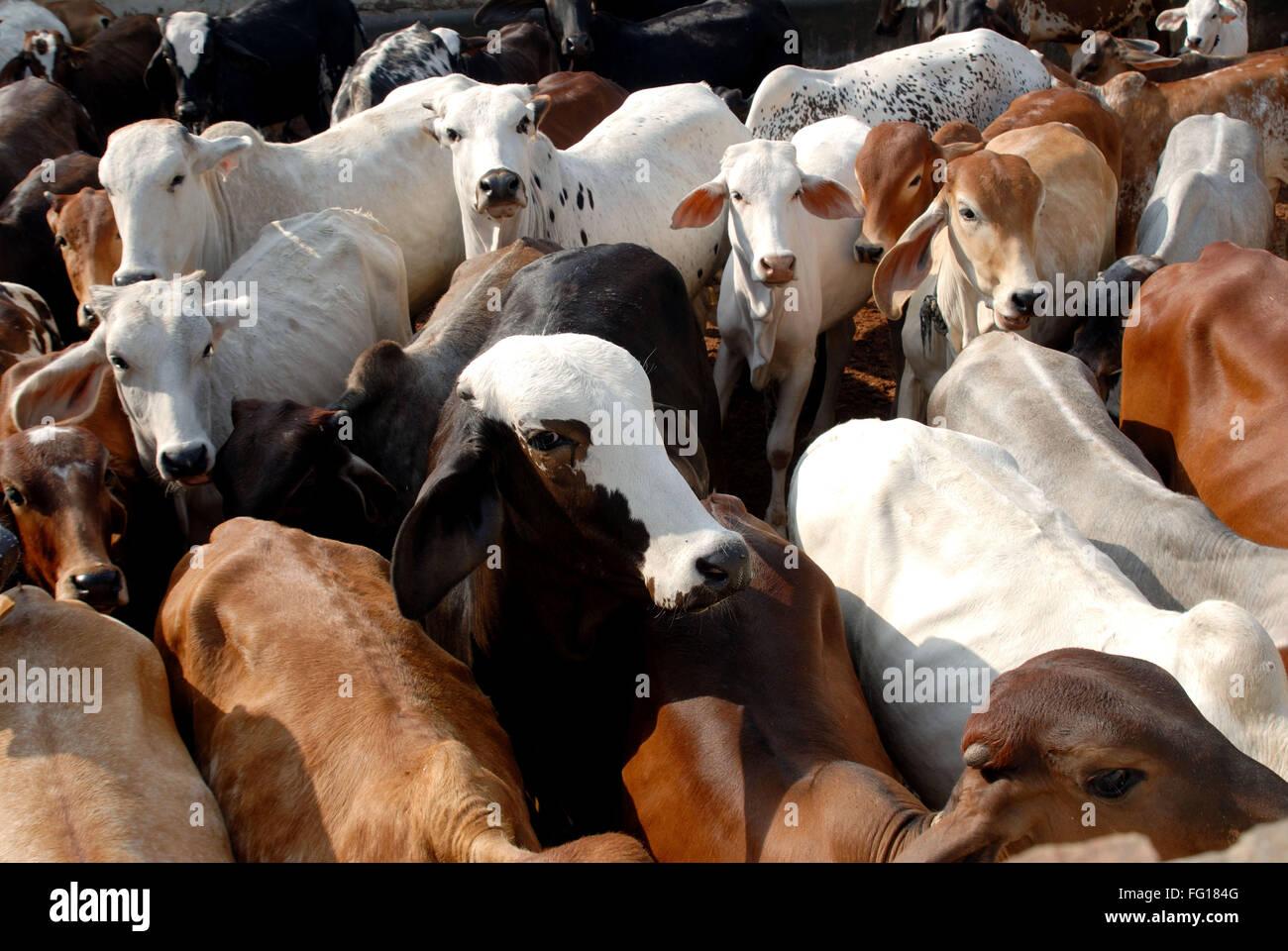 Tier, indische Kühe, Indien Stockfoto