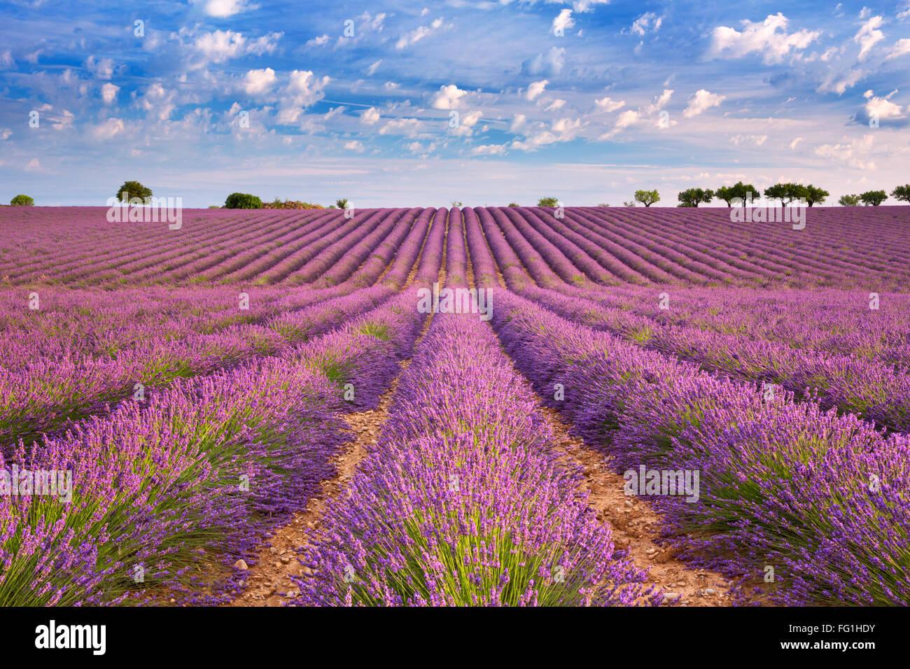 Blühende Felder von Lavendel auf dem Plateau von Valensole in der Provence in Südfrankreich. Stockbild