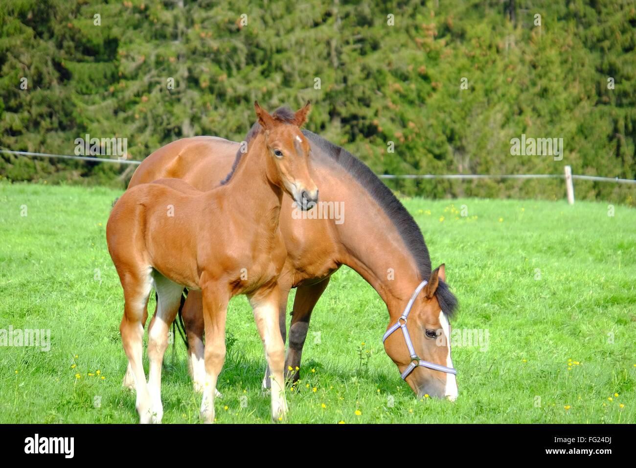 Pferd mit üblen grasen auf der Wiese Stockbild