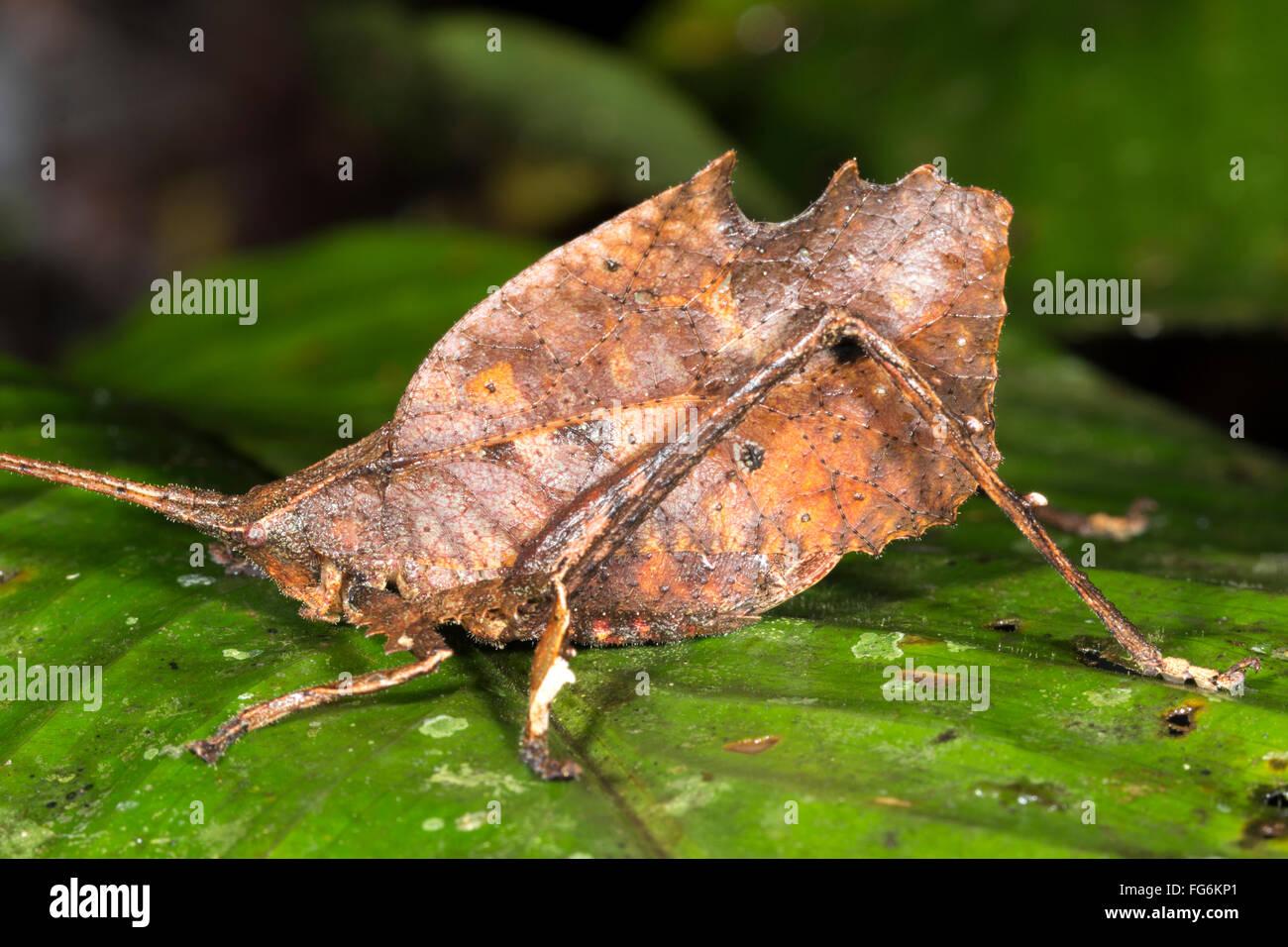 Leaf mimischen Grashuepfer (Typhophyllum SP. Familie Tettigoniidae) sitzt auf einem Blatt im Regenwald Unterwuchs, Stockbild