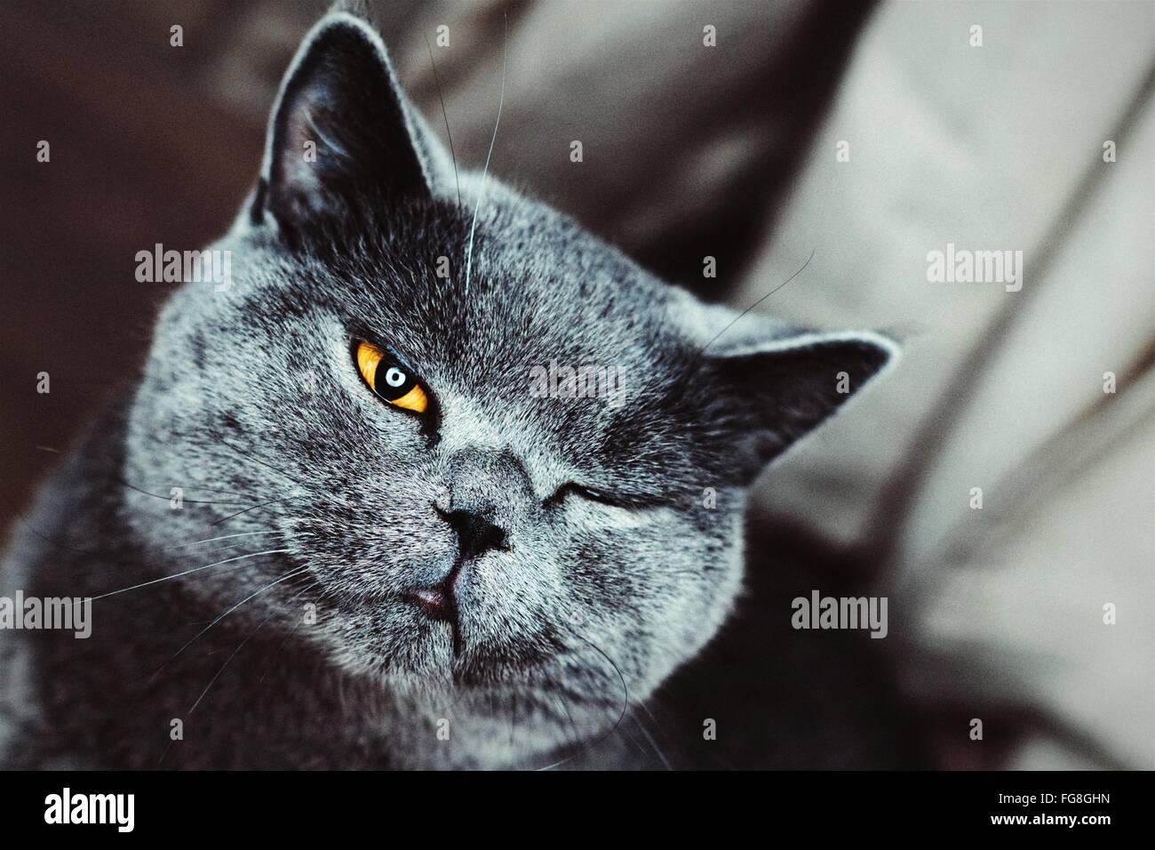 Porträt-Nahaufnahme von Chartreux Katze Zwinkern Stockbild