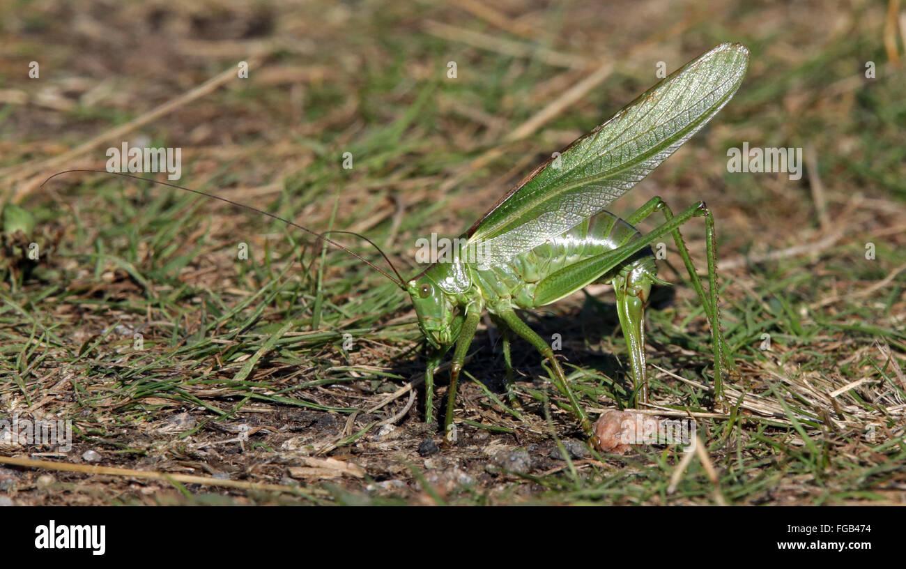 Zur Eiablage Tettigonia Viridissima Großen Grünen Bush-Cricket Katydid, Nynäshamn, Schweden Stockbild