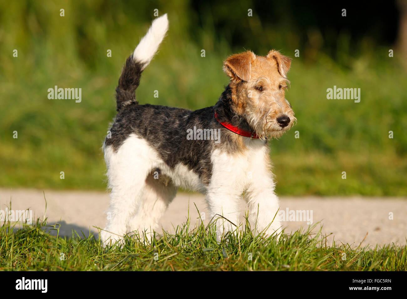 A Fox Terrier Stockfotos & A Fox Terrier Bilder - Seite 3 - Alamy